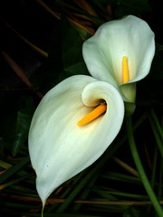 Callas (Amber *) Tags: white flower art topv111 flickr calla lovely1 favorites top20flower kra052 araceae aroid favd picsflickrmemberscommentedon thecommentaryset picsflickrmembershaveaddedtotheirfavorites yourfavdset