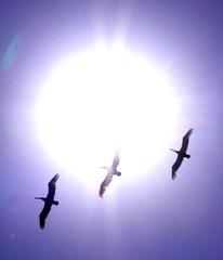 Sunbathers (jurvetson) Tags: sun pelicans topf25 topv111 top20np interestingness 500plus20 halfmoonbay sorryevaluation damncool