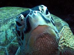 Sleeping Turtle...or at least it was (The Sprain) Tags: closeup ilovenature underwater turtle scuba diving 500v50f sipadan potofgold payitforward headon animaladdiction specanimal fantasticanimalphotos