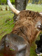 Curious cow (LeelooDallas) Tags: australia tasmania tarraleah lodge tree cattle animal cow landscape dana iwachow nikon coolpix s9100