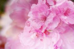 Pink Dreams (laurakirkpatrick) Tags: pink flowers petals overlay flower flour nature outdoor novascotia canon macro stars