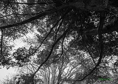 Shaded in the maple, Puget Island, WA, 12-8-2016 (convertido) Tags: winter puget island cathlamet snow december family playing perspective black white trees sky washington