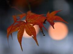 RED #5 (Sign-Z) Tags: 28300mmf3556gvr nikon d600 afsnikkor28300mmf3556gedvr leaf red 赤 葉