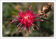 b-6612-grevillea-22-09-06-10L (Barbara J H) Tags: flowers australia grevillea