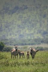 Zebras in Ngorongoro crater Tanzania (hvhe1) Tags: africa tanzania wildlife safari hennie hvhe1 hennievanheerden