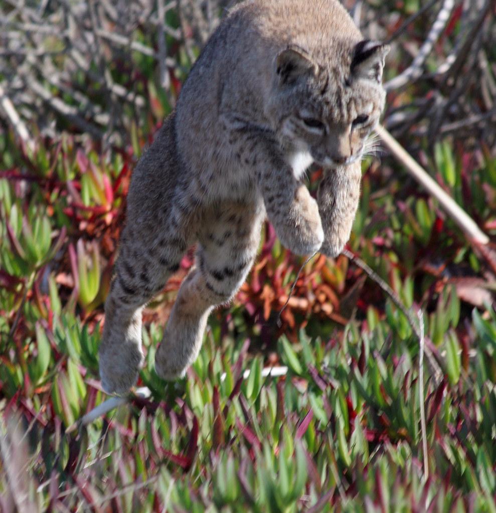 Bobcat jump.