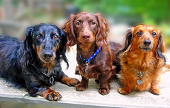 Chili, Teddy and Heidi (Doxieone) Tags: dog brown 3 interestingness long calendar chocolate explore 101 v final getty exploreinterestingness hi haired aa mostpopular ggg dachshunds 1002 longhaired ourdogs onexplore final2 topfavorite explored doxieone101 367201116 flickrchallengewinner 7783382 102535929 ddate