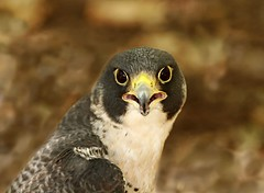 Peregrine Falcon---Full Face. (Picture Taker 2) Tags: bird nature closeup wings colorful pretty falcon curious predator captive upclose birdsofprey wildbirds worldbirdsanctuary featheryfriday animalkingdomelite