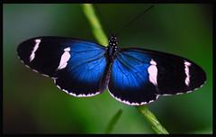 """Blue Diamond "" (V a n C a t) Tags: blue nature butterfly nikon butterflypavilion d200 loveyou continuum the vancat animalkingdomelite bigfave cigdemmay 105mmf28dafmicro"