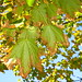 "rusty leaves 2 • <a style=""font-size:0.8em;"" href=""http://www.flickr.com/photos/70272381@N00/263471449/"" target=""_blank"">View on Flickr</a>"