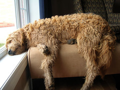 Jack Exhausted (eastick_east) Tags: dog jack goldendoodle