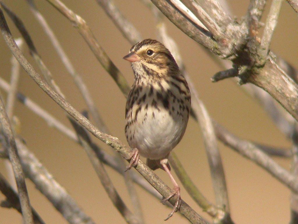 Savannah Sparrow, McDonald Road, Vancouver Airport (BC, Canada), 7-Sep-06