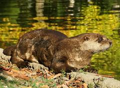 Happy Otter (shesnuckinfuts) Tags: animal wildlife wa furryfriday coolest otters animalplanet backyardpond kentwa quoted animaladdiction otterfamily shesnuckinfuts washingtonstatewildlife potwkkc10 thoughtstoliveby