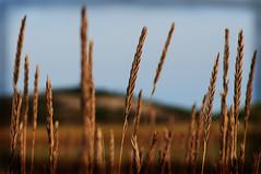 depth of fields (richietown) Tags: beach topf25 field topv111 interestingness topv555 topv333 dof capecod massachusetts wheat dunes grain depthoffield explore fields fv10 28135mm 30d greatisland canon30d outstandingshots abigfave richietown potwkkc9