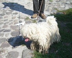 Dogs of Hungary: white puli