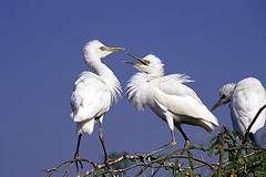 egret sparring (wildlens) Tags: trip travel wild vacation india holiday bird nature birds horizontal asian photography photo nikon asia natural photos wildlife indian  fighting behavior egret avian gujarat egrets thepca jadeja 70300g manjeet yograj ourfavourites manjeetyograjjadeja