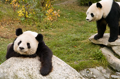 Pandas at the Vienna Zoo