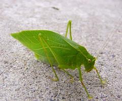 A leaf or a bug leaf (JAMES HALLROBINSON) Tags: green insect wv katydid specanimal oblongwingedkatydid amblycoryphaoblongifolia