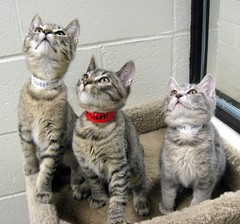 Things Are Looking Up for These 3 Tabby Kittens (Pixel Packing Mama) Tags: cats beautiful cat catwomen wonder gorgeous mycats excellent greatshot aww catsandkittensset catscatscats ilovemycat furryfriday capture nuggets ort allanimals catsanddogs cutekittens animalbabies tabbycats babyanimals exclamationpoints animalfeelings catlovers heartlandhumanesociety flickrcat notmycat beautifulcats catpix pixelpackingmama 3000views meowscollectors catssmalltobig dorothydelinaporter favorites15 worldsfavorite everybodywantstobeacat notmypet herdingcats greatpixgallery10faves beautifuluniverse fotocats welovelatte canonpowershota540 wonderfulunlimited flickrcats someoneelsescat blackcatmillie views3000 montanathecat~fanclub catcentury ourbelovedcats thetabbycatgroup justmoggies v3000 gattigattinigattoni catscookiecatfriends furryfun favoritedpixset cc3000 mostinterestingaccordingtoflickralgorithmset adorableunlimited spcacats cattrios 10favoritescats melfanclubcats catsdogsfromaroundtheworld cat3000 catsdomestic500999views pixwithexclamationpointsincommentsset reallyunlimitedpool pet3000 views1000andupdomesticcatsonlypool