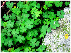 Shamrocks, the luck of the irish (..dri..) Tags: verde green leaves hojas lookingdown shamrocks mexicodf banqueta treboles greenhearts