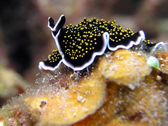 help me name me (Coppertane) Tags: ocean sea macro animals yahoo asia southeastasia underwater scuba diving malaysia scubadiving animalplanet dayang c5060wz impressedbeauty