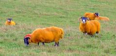 Spooky Sheep (Vanda's Pictures) Tags: orange pumpkin sheep haloween coloured 1on1photooftheday 1on1colorfulphotooftheday 1on1colorfulphotoofthedayfeb2007