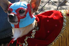 Nacho Libre (gwen) Tags: red dog chihuahua 20d halloween gold costume mask small contest fringe 2006 velvet parade smalldog luchador cape blogged luchalibre wrestler mascara alameda lucha howloween prizewinner costumecontest nacholibre howloween2006 smalldogcostumecontest ofrendabadge
