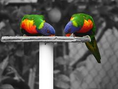 Colour (bivoir) Tags: bird birdie rainbow feather lorikeet rainbowlorikeet australianbird featheryfriday