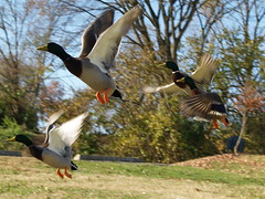 caught in flight (JAMES HALLROBINSON) Tags: fly duck ducks off liftoff take mallard drake spooked specnature