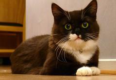 Tussi - November 4, 2006 (vanstaffs) Tags: cute cat blackwhite kitten feline european kitty 100v10f domestic tuxedocat tussi top20cats cc400 cc300 cc200 cc100 cc500 top2020 interestingcat kissablekat catoftheweek bestofcats boc1106 cat600 pet500