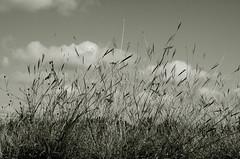 (maxivida) Tags: bw nature grass october serbia dry maxivida steppe vojvodina deliblatskapeščara