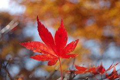 colored leaf in towada