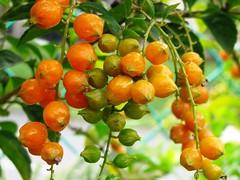 Golden Berries of Duranta erecta, taken October 10, 2006