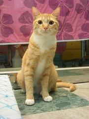 凜凜 (jacky elin) Tags: orange cats cat mix tabby lin