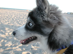 KAIA the dog (Scott Kinmartin) Tags: dog mix husky american siberian kaia americaneskimo huskimo