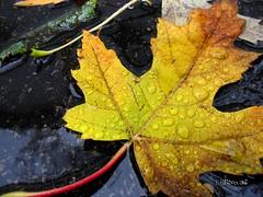 (LauraEllison) Tags: orange leave rain yellow leaf maple driveway waterdroplets 1on1photooftheday