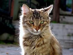 king of Cihangir cats! (H e r m e s) Tags: cat turkey istanbul cihangir