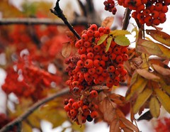 Winter berries (closelyobservedphoto) Tags: travel winter red photography berry berries bokeh poland polska krakow nikond50 cracow cracovia