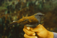 Andean solitaire (Caranpaima) Tags: birds colombia vogel oiseaux  myadestesralloides andeansolitaire fbwnewbird fbwadded