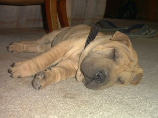 Biggelow the SharPei - Sacked
