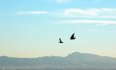 Incoming!!! (Elinay) Tags: blue sky black bird female d50 fly duck nikon flight raptor falcon prey far hunt falconry falconer talons gyrsaker