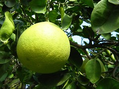 "pomelo (i think) • <a style=""font-size:0.8em;"" href=""http://www.flickr.com/photos/70272381@N00/299106036/"" target=""_blank"">View on Flickr</a>"