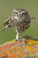 Karate OWL TOYZEEEEEEEE (Sparkyfaisca) Tags: cute bird portugal birds zeiss bravo birding birdsinportugal avesemportugal aves karate ornithology digiscoping birdwatching owls birdofprey digiscope littleowl athenenoctua sparkyfaisca featheryfriday specanimal abigfave specanimalphotooftheday impressedbeauty superaplus aplusphoto leaderinsideemotions avianexcellence diascope thewonderfulworldofbirds