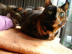 Eek nudging Rugrat (Tjflex2) Tags: cats pets beautiful animals loving cat chats kitty gatos views catloaf squishy 500 gatti breathing animalcare cc100 animaladdiction catnipaddicts