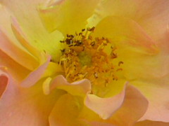 Morden Sunrise Rose Up Real Close 001 (Chrisser) Tags: flowers roses summer ontario canada nature garden interestingness gardening fourseasons macros closeups rosaceae flowerfactory blendedcolors mordensunrise theworldthroughmyeyes olympuscamediac765 ccmpflowers notabud