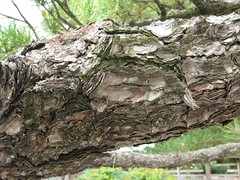 P. thunbergii bark