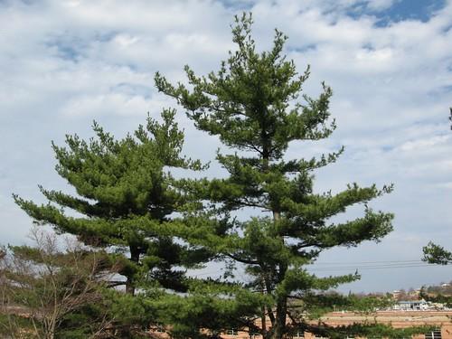 Pinus thunbergii @ US Arboretum
