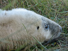 This is not a crop i really was this close (fuzzypurple) Tags: seals donnanook