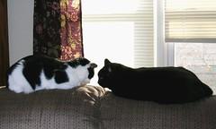 Face to Face (Maia C) Tags: cats cat blackcat nikon catloaf alexander comment cowcat lightfoot maiac oneblackcat
