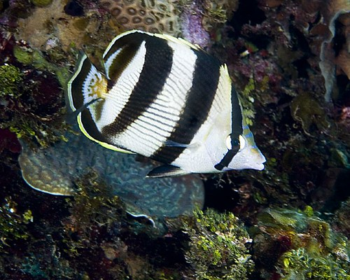 Banded Butterflyfish [CCV 2006, 102-25]